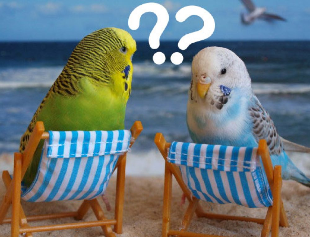 Where have all the Budgies gone?